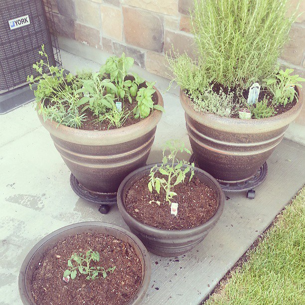 We have 2 tomato plants, basil, lemon thyme, sage, parsley, thyme, rosemary and more.